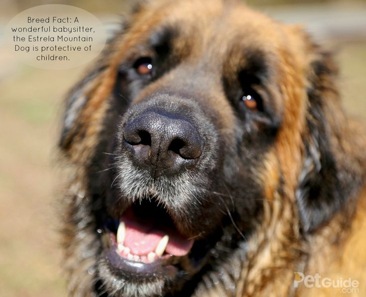 Intelligent and watchful, the Estrela Mountain Dog is fiercely loyal to his family.
