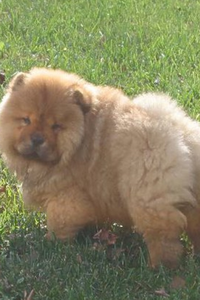 Bearli... Cutest chow puppy ever!