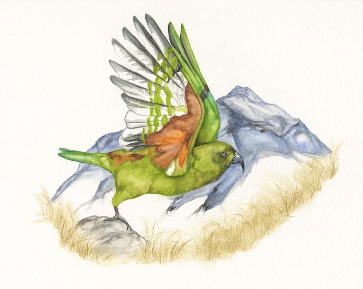 New Zealand parrot the kea by artist Madison Drinkall