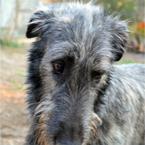 Irish wolfhound, puppy, juvenile, funny, glance, dubious, willful, doubtful