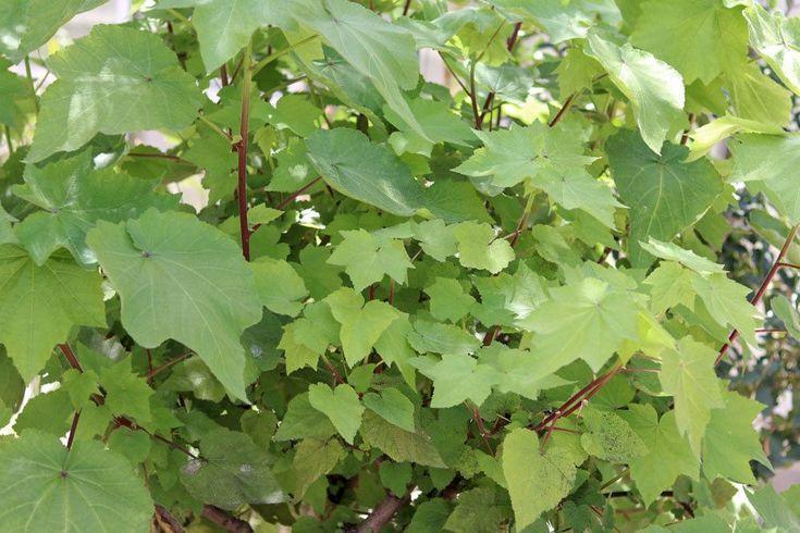 Kaplandische Zimmerlinde Sparrmannia Africana Pflanzen Zimmerlinde Schlafzimmer Pflanzen