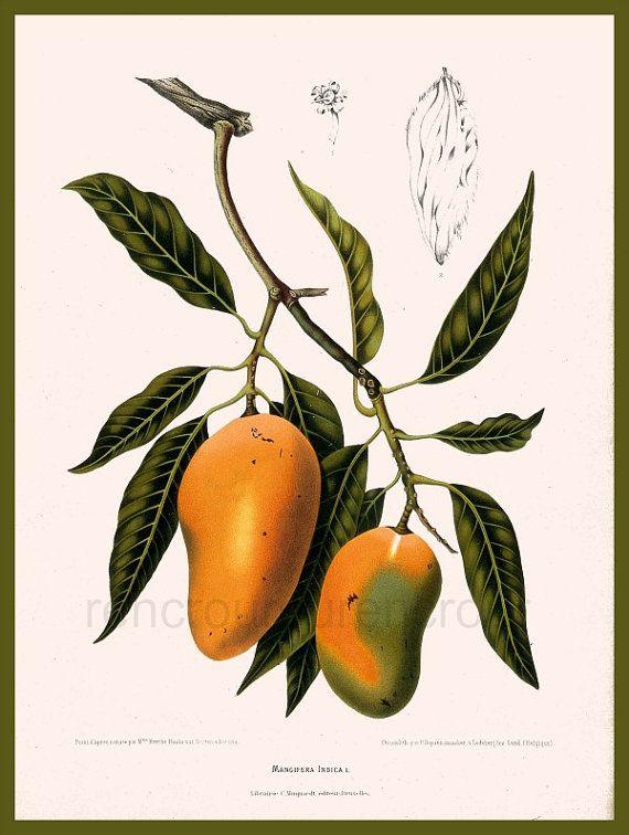 Mango Tree Not Producing Fruit Part - 37: Antique French Botanical Print Mango Fruits By FrenchFrouFrou