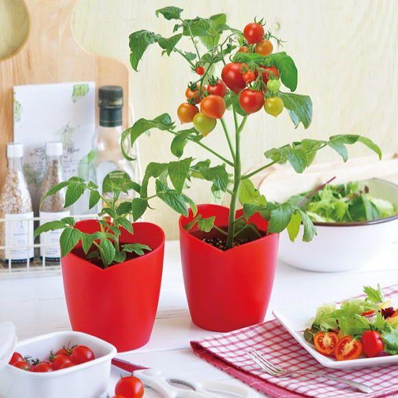 楽天市場 ハートの実がなるハートマト ミニトマト栽培キット お洒落に