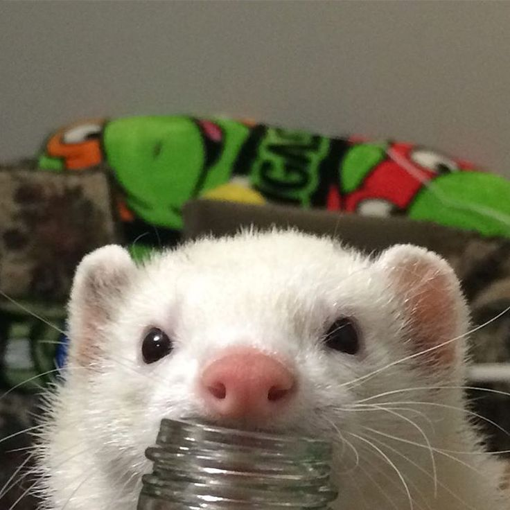 See this Instagram photo by @_fuzzyferrets_ • 70 likes