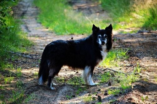 Bordercollie Colliepoint Dog Breed Info Dogs Purebred Dogs