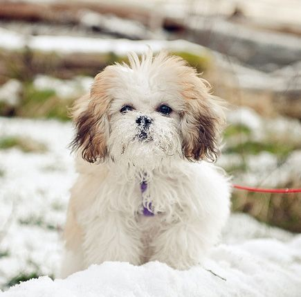 shih tzu owners dating service