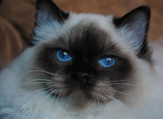Massachusetts Ragdoll cat breeders - Ragdoll kittens for Sale.