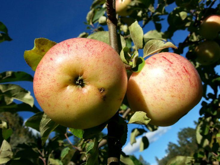 September 8 , 2016 . The Apples are ripe in Nurmijärvi  . Variety  :  SÄRSÖ  . NURMIJÄRVI  . FINLAND  .