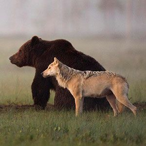 Unusual Friendship Between Wolf And Bear Documented By Finnish Photographer ღ✿´¯`*•.¸¸✿ღღ✿´¯`*•.¸¸✿ღღ✿