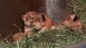 Just in case you had a bad day here are some baby lions.