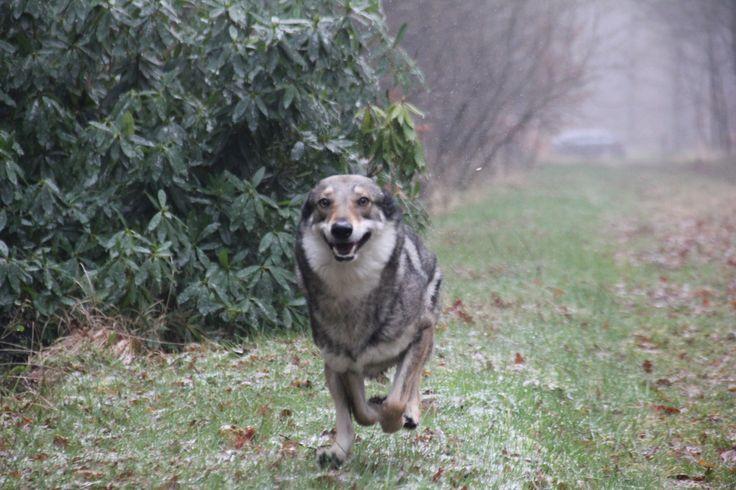 Falcon onze Tsjechoslowaakse wolfhond / Czechoslovakian Wolfdog full speed