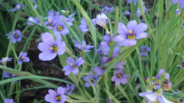 Prairie blue eyed grass sisyrinchium has blue star for Grass like flowering plants