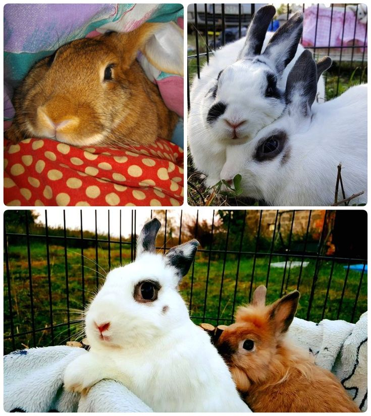 Adoptable bunnies at Malgosia's Rabbit Shelter are Cathy (upper left) and two couples: Ginger and Fred (upper right) & Telma and Luiza. #bunnies #rabbit #rabbits #adoption #Poland