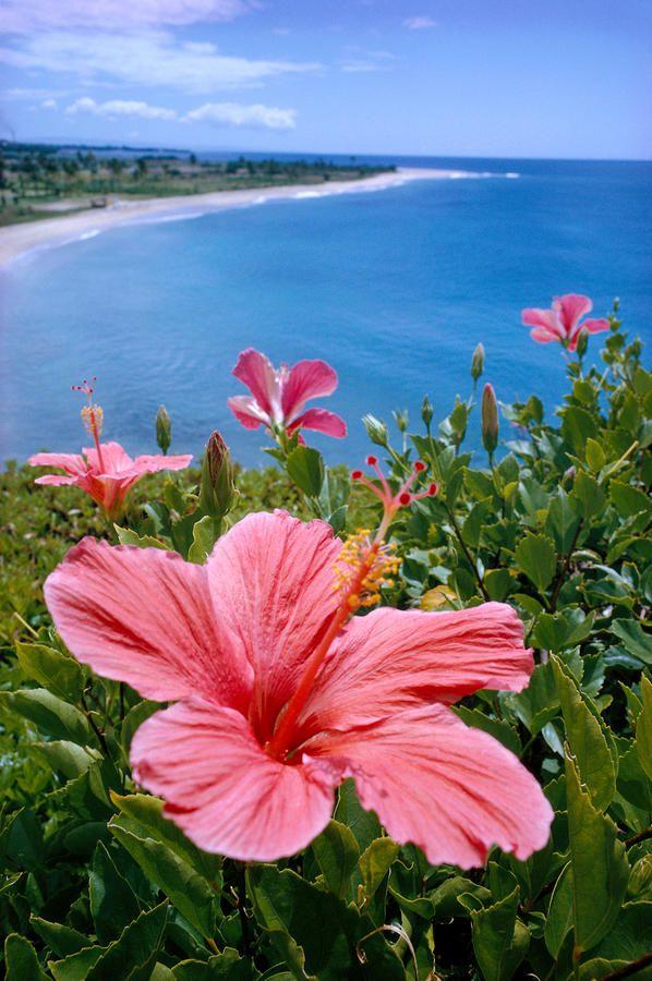 Pink hibiscus overlooking Hawaii beach by Credit: Pacific Stock - Design Pics / SuperStock