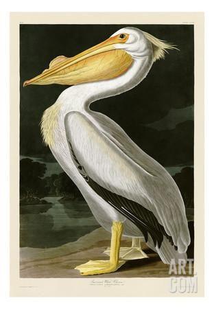 American White Pelican Art Print by John James Audubon at Art.com