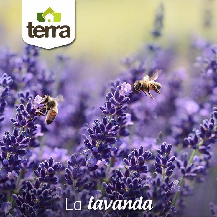 La #Lavanda es una planta aromática que atrae muchos insectos polinizadores como las abejas que son imprescindibles para que las flores den fruto. Aparte de sus usos culinarios y medicinales, sembrar #Lavanda en tu #Huerta ayuda a aumentar la producción y tener un huerto más sano.
