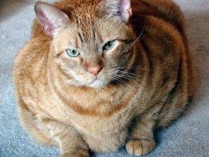 Los gatos obesos son más propensos a la diabetes