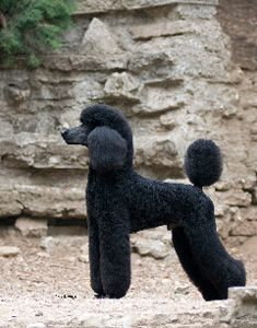 Avion Standard Poodles Website - All stock is GDC tested. Specializing in Blacks and Whites.