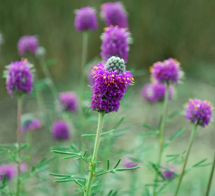 Native Purple Prairie Clover. Scarify seed with fine sandpaper.: Prairie Clovers, Purple Prairie, Bees, Fall Leaves, Butterflies, Clovers Dalea, Traditional Landscape, Dalea Purpureum, Low Lights