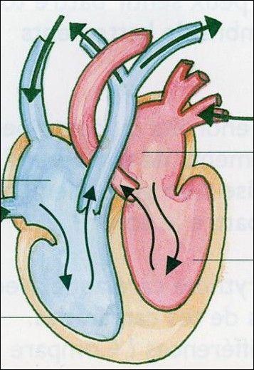 La circulation sanguine: documents supplémentaires video sur la circulation en bas
