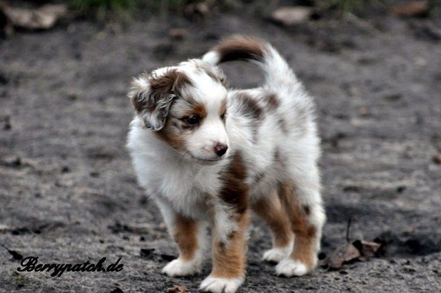 Mini Australian Shepherd. So sweet.