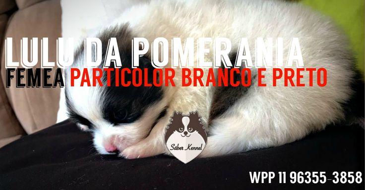 DISPONÍVEL - Spitz Alemão (Lulu da Pomerânia) fêmea, particlor branco e preto - wpp 11 963553858