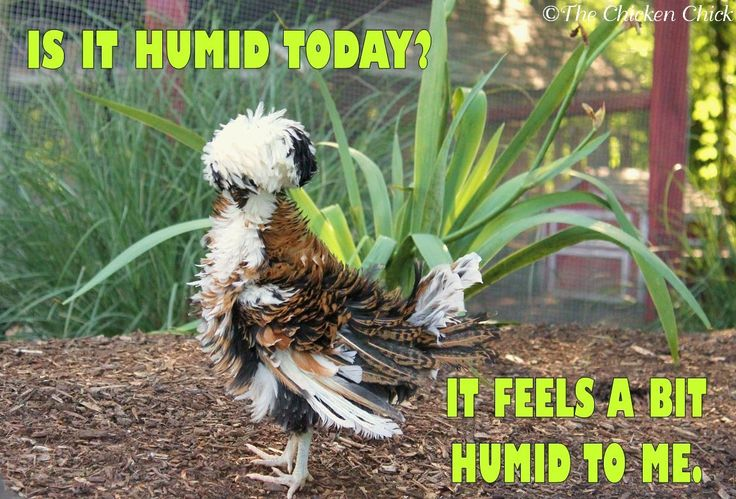 Is it humid today? It feels a little humid to me. ~ The Chicken Chick on FB