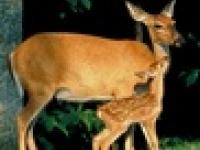 Deer-Resistant Plants | The Old Farmer's Almanac