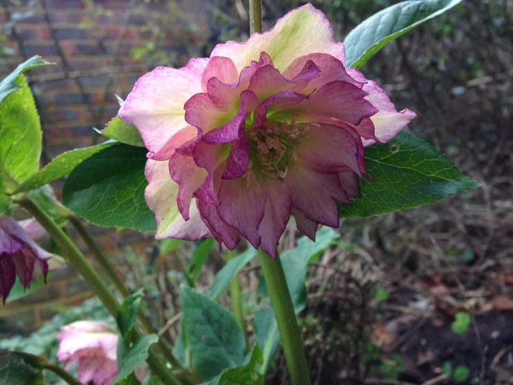 Beautiful double hellebore in a January garden.  A winter garden doesn't have to be without colour.