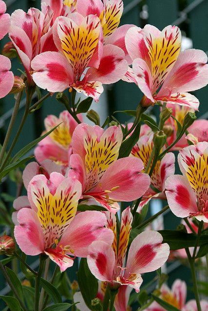 Alstroemeria tricolor. Me encanta. Esta es una flor silvestre en Chile