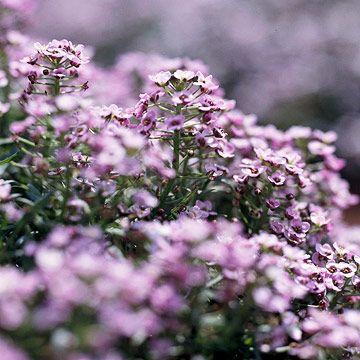 Plantas anuales para perfumar tu jardín