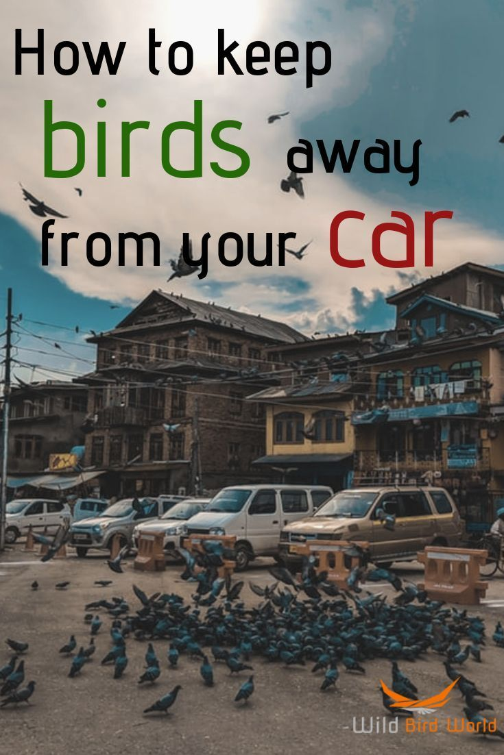 How To Keep Birds Away From Vehicles In 2020 Keep Birds Away Wild Birds Attract Wild Birds