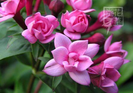 Bouvardia 'Double Lilac' | The World of Flowers | Pinterest ...