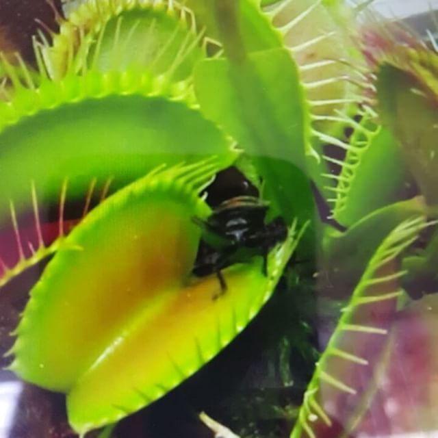 Que tal esto! 🌿🍃🌵esta Dionaea muscipula o Venus atrapamoscas  la encuentras en A&S -miscelánea- carrera 8 # 107A-25 Bogota. #Greenery #amazing #ahoraysiempredesign #carnivoras#venusatrapamoscos #exoticaselrecreo #tiendadebarrio #miscelanea#hechoencolombia #love#cute#plantas #concepstore#followme #20like