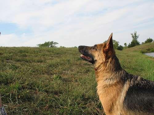Las diez razas de perros mas inteligentes del mundo 3