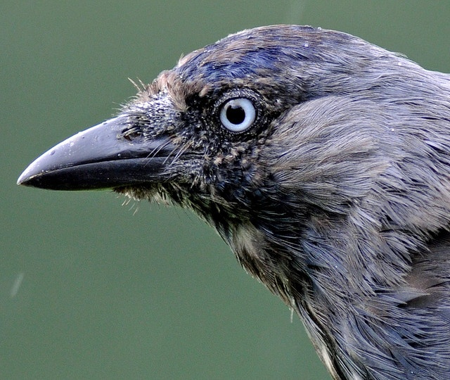 Young Jackdaw. Gorgeous!: Corvid, Photo