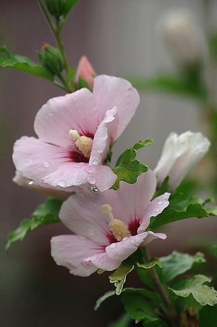 "Rose of Sharon I have a rose of Sharon in my garden because my daughter is name Sharon. I also have a ""Just Joey"" Rose bush because my son is named Joey."