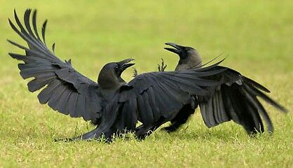 Crows. (Looks like they're dancing)