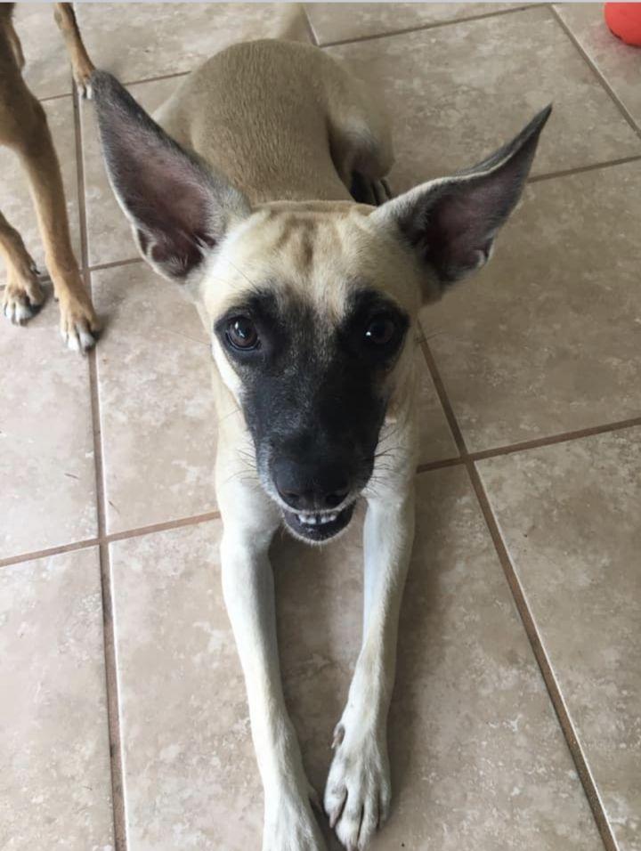Adopt Lola On Pet Adoption Belgian Shepherd Belgian Malinois