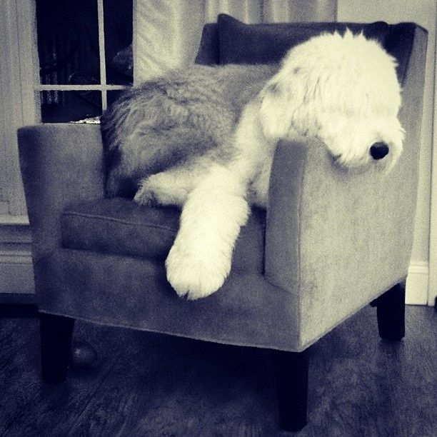 Opie is one cool Old English Sheepdog @Isabelle Choi Alvis I'M DYING!!!! This is the cutest!