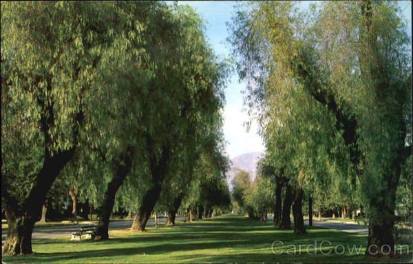 This is the seven mile double row of Pepper Trees along Euclid Ave. going North towards mountains.