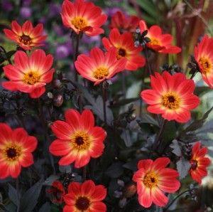 Георгина Вотан. Купить семена цветов.