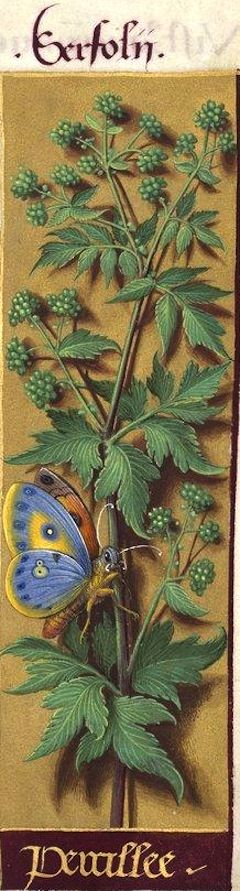 Percillee - Serfolii (Helosciadum nodiflorum K. = ache, faux cresson de…