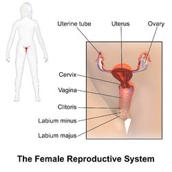 11 best medviz reproductive system images on pinterest blausen 0399 femalereprosystem 01g female reproductive systemgenderbody partsparts ccuart Gallery