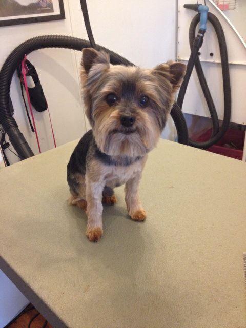 Yorkie Kennel Cut by Jodi Watson at CHOW Bella Pets
