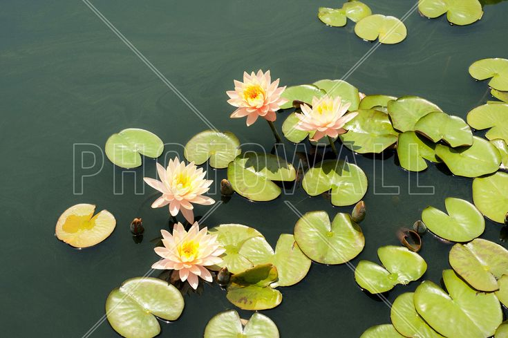 Pond with Pale Pink Water Lilies - Fototapeter & Tapeter - Photowall