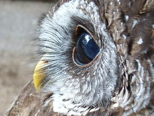 Close up Owl: Owl Eye, Clean, Eyelashes, Baby Owl, Close Up Animal Eye, Big Eye, Birds, Closeup, Beautiful Creatures