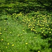 How to Kill Dandelions Naturally, Without Killing the Grass