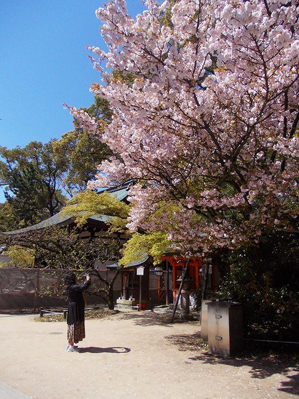 Kyoto Sakura photo op, April 2014