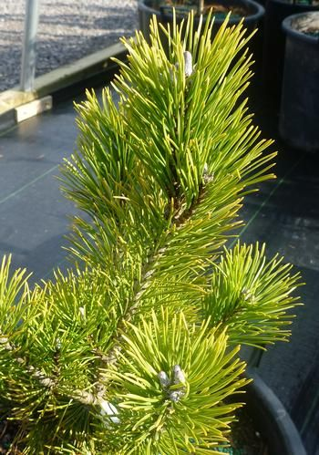 Pinus mugo Aurea Fastigiata